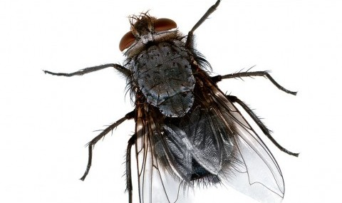 Fliege von Amada44 (Eigenes Werk) [Public domain], via Wikimedia Commons